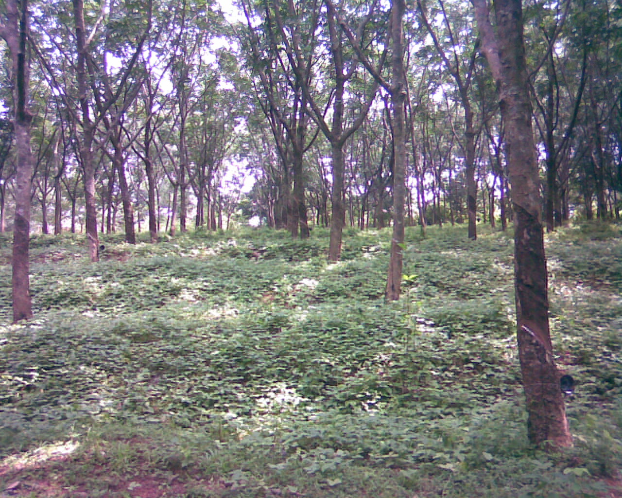 Cover crops of Rubber Estate