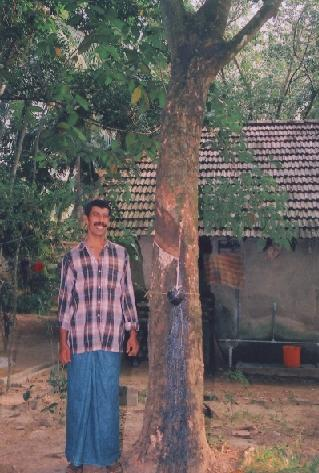 Nandakumar with the brown bast treated rubber tree